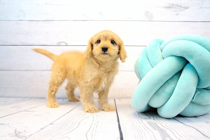 Cavapoo for sale! 2
