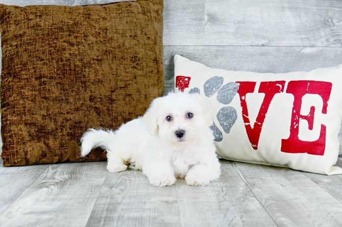 Bichon Frise puppy for sale! 3