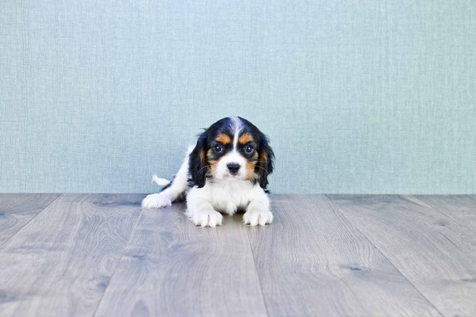 Cavalier puppy for sale! 2