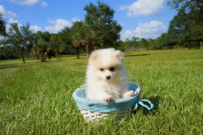 Pomeranian for sale! 1