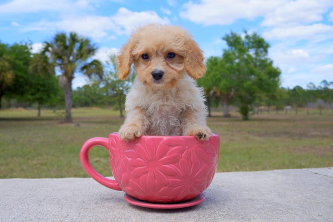 Bentley is the Cavapoo for sale in Florida! 3