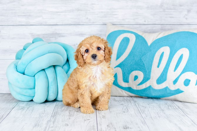 Mini-Goldendoodle for sale! 6