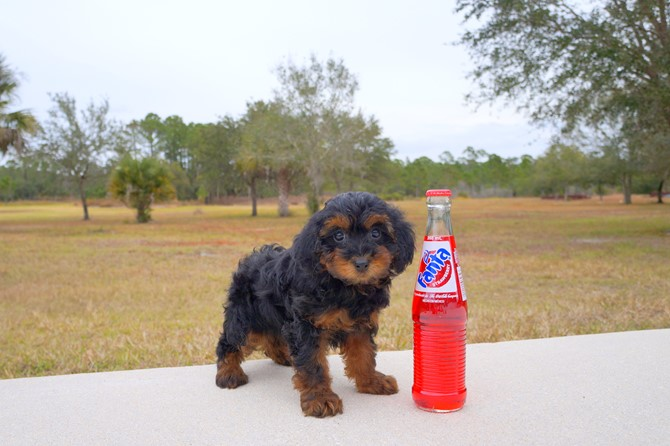 Yorkie poo Puppy for sale! 3