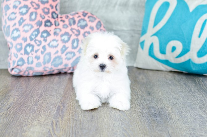 Maltese Puppy for sale! 8