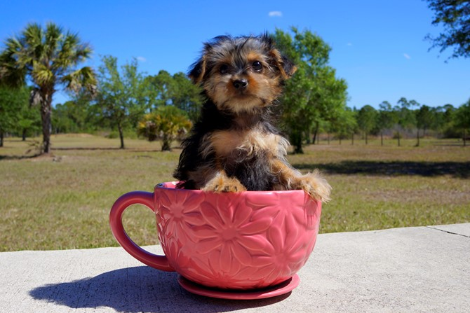 Meet Zoey the Morkie pup for sale near Orlando! 2