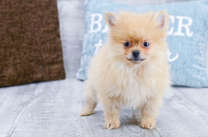 Pomeranian puppy for sale! 3