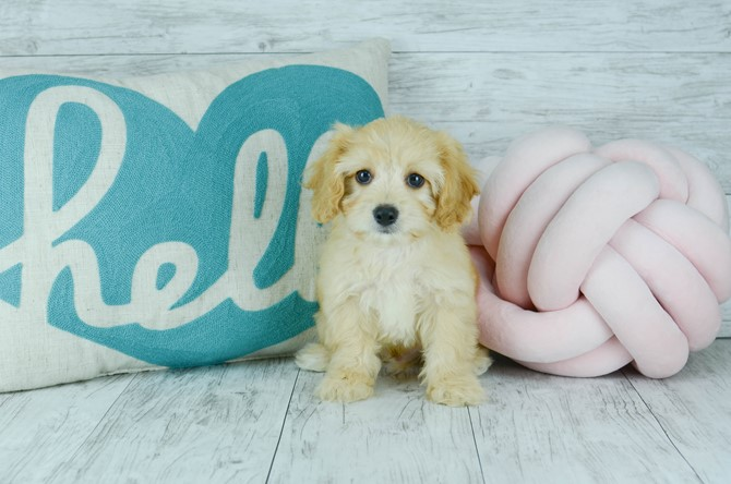 Cavachon puppy for sale! 3