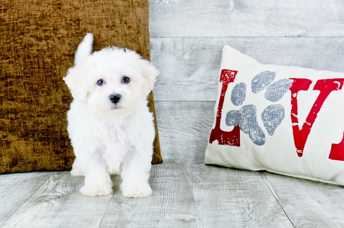 Bichon Frise puppy for sale! 2