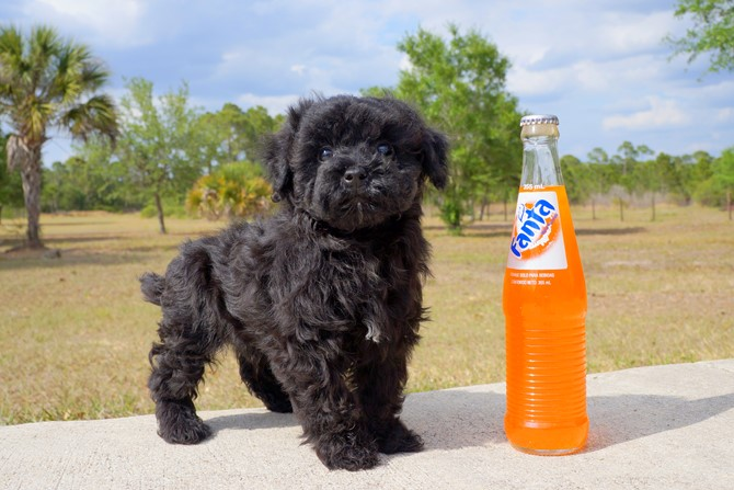 Meet Barret the Cavapoo for sale near Miami! 1