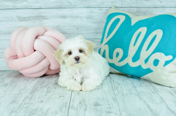 Malti-poo Puppy for Sale! 5