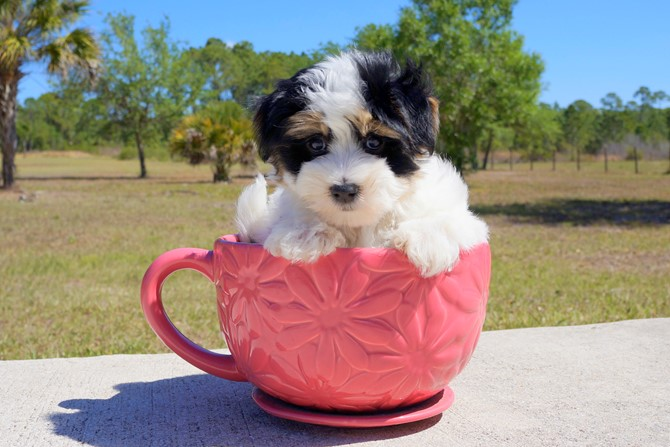 Chipper is the Morkie for sale near St. Pete! 7