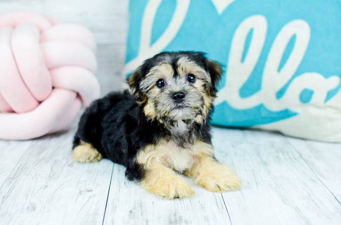 Morkie puppy for sale! 4
