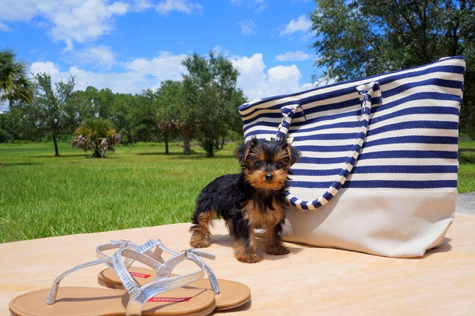Yorkie for Sale! 1