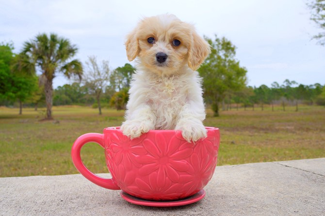 Jacob is the Cavachon for sale in Florida! 3