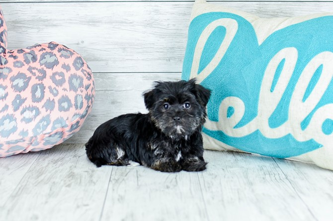 Morkie puppy for sale! 1