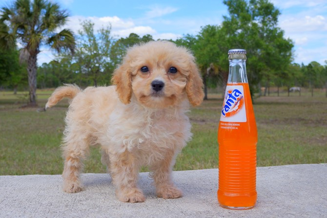 Bentley is the Cavapoo for sale in Florida! 1
