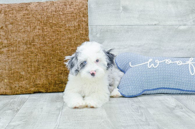 F1B Mini Sheepadoodle puppy for Sale! 3