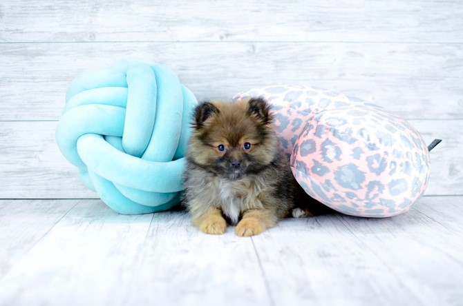 Pomeranian puppy for sale! 1