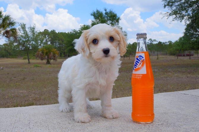 Meet Shara the Cavachon for sale near St. Pete! 5