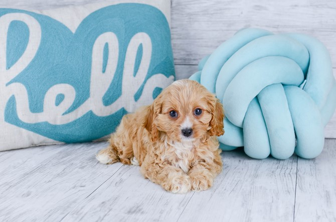 Cavapoo puppy for sale! 4