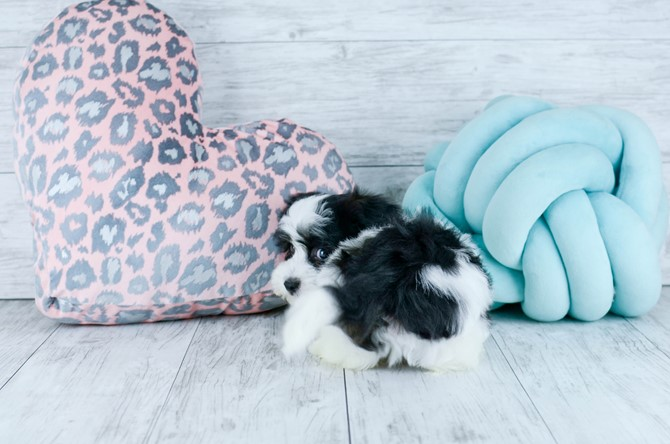 Havanese Puppy for sale! 5