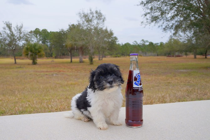 Havanese Puppy for sale! 1