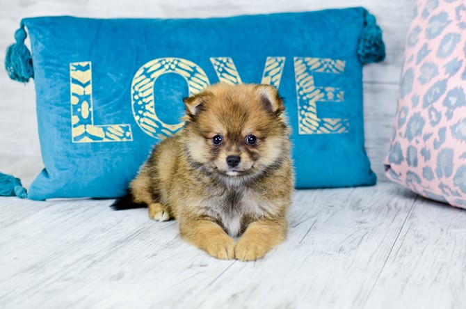 Pomeranian puppy for sale! 7