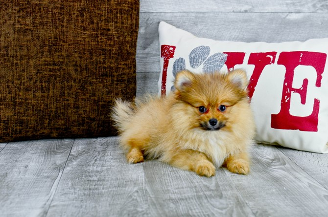 Pomeranian puppy for sale! 4