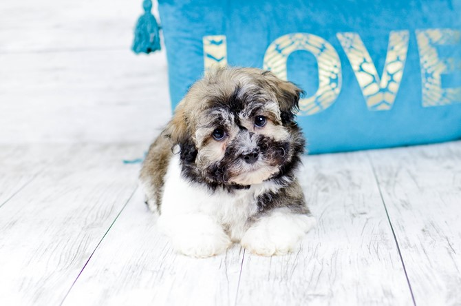 Havanese puppy for sale! 3