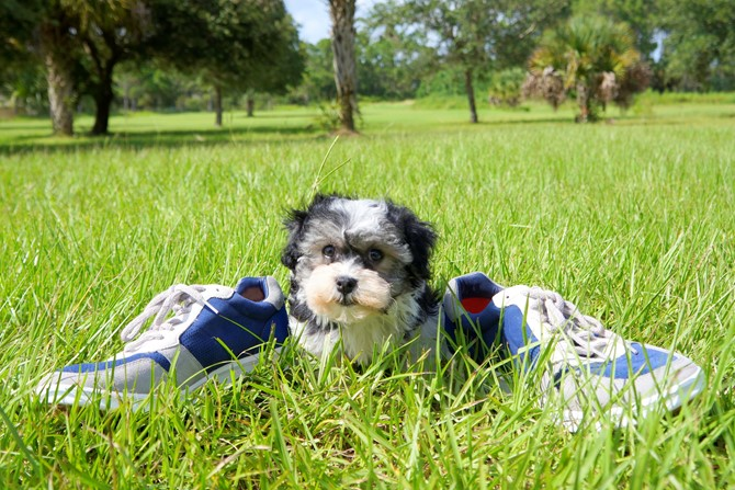 Havanese for sale! 2