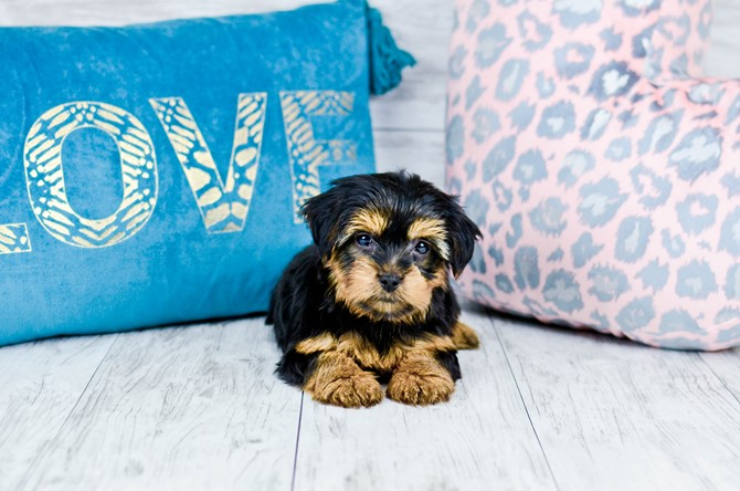 Yorkie puppy for sale! 7