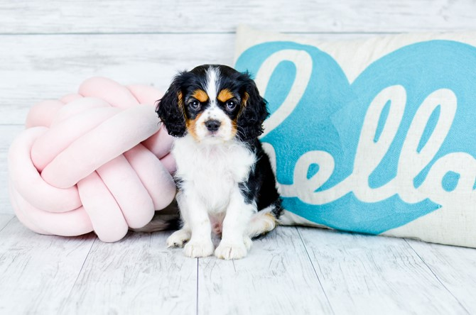 Cavalier Puppy for sale! 5