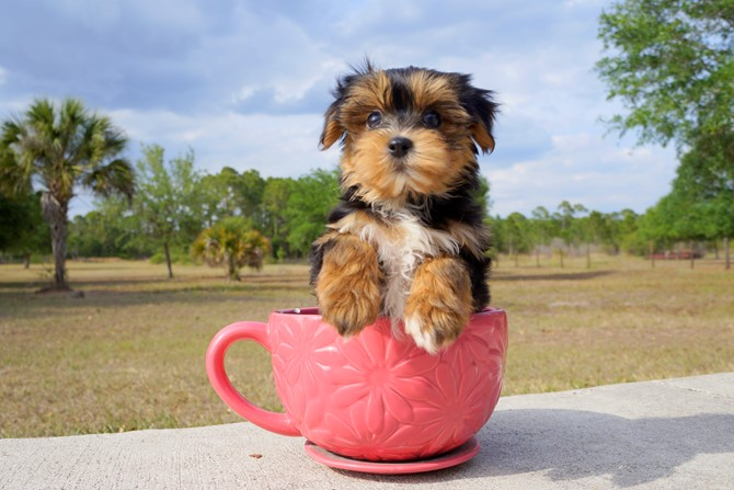 Collin is the Morkie for sale near Orlando! 1