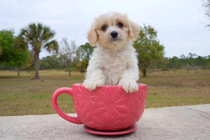 Jacob is the Cavachon for sale in Florida! 1