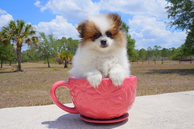 Meet Aims the Pomeranian Pup for sale in Florida! 3