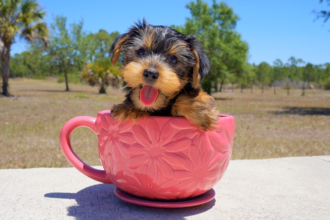 Meet Colton the Yorkie for sale in Florida! 2