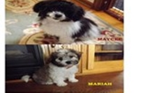 Maycee and Mariah Havanese