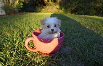 Puppies For Sale In Florida Buy Teacup Small Breeds Puppies In Fl