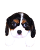 Cavalier King Charles Spaniel puppies for sale in Florida