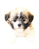 Havanese puppies for sale in Florida