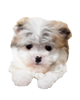 Malti Pom puppies for sale in Florida