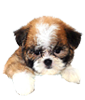 Malti Poo puppies for sale in Florida
