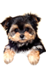 Morkie puppies for sale in Florida