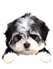Parti Morkie puppies for sale in Florida