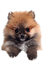 Pomeranian puppies for sale in Florida