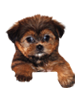 Shorkie puppies for sale in Florida