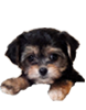 Yorkie Poo puppies for sale in Florida