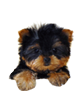 Yorkshire Terrier puppies for sale in Florida